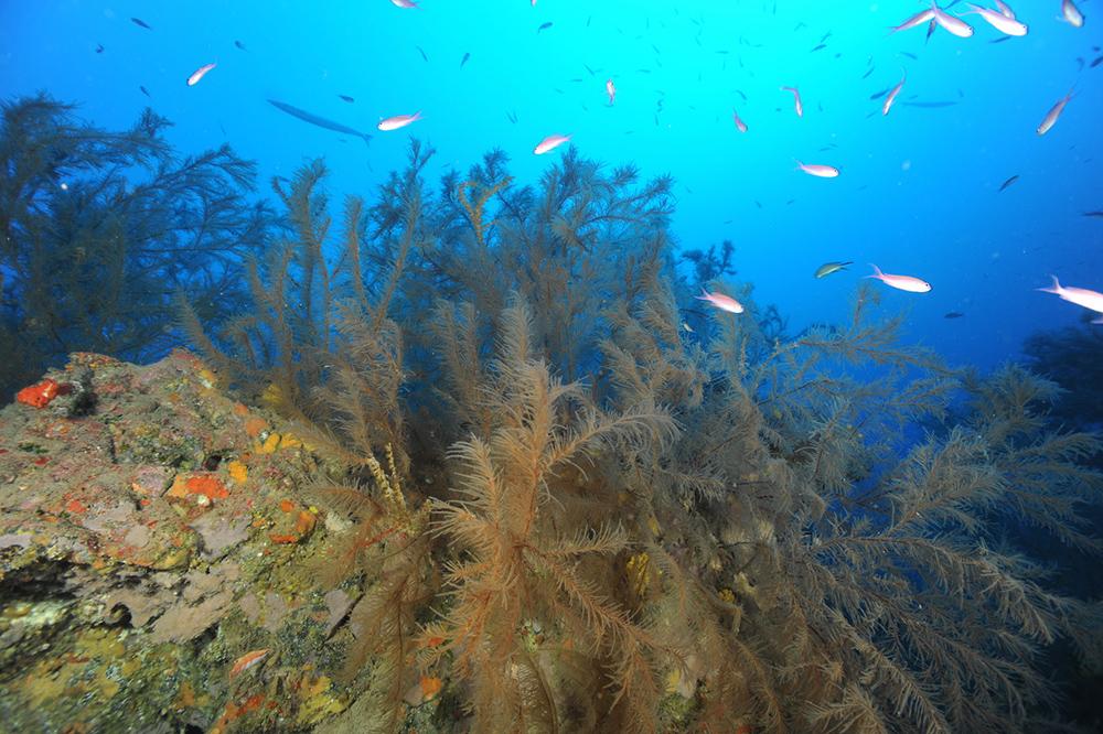 Arranca en Lanzarote la investigación sobre los bosques submarinos de coral negro